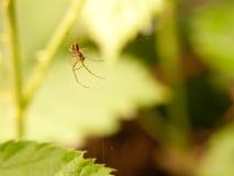 Μια αράχνη που κρεμά κάτω από κοντά στον Ιστό της που περιμένει τα τρόφιμα πετά το έντομο Στοκ εικόνα με δικαίωμα ελεύθερης χρήσης