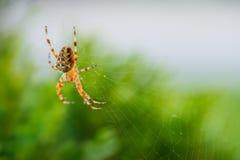Μια αράχνη που περιμένει ένα θήραμα Στοκ Φωτογραφίες