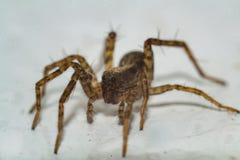 Μια αράχνη που σέρνεται στο λευκό Στοκ Εικόνες