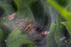 Μια αράχνη σε έναν Ιστό μεταξύ της κινηματογράφησης σε πρώτο πλάνο θάμνων Στοκ εικόνα με δικαίωμα ελεύθερης χρήσης