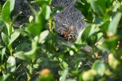 Μια αράχνη τρώει το θύμα στοκ εικόνα