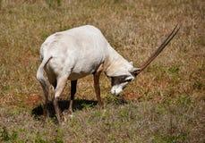 Μια αραβική βοσκή Oryx, που κρατά το κεφάλι του χαμηλό στοκ φωτογραφία