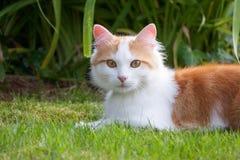 Μια αρκετά δίχρωμη γάτα που βρίσκεται στη χλόη Στοκ εικόνες με δικαίωμα ελεύθερης χρήσης
