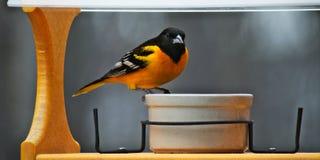 Μια αρσενική Βαλτιμόρη Oriole στο φτέρωμα αναπαραγωγής επισκέπτεται έναν τροφοδότη πουλιών σε Μινεσότα στοκ εικόνες