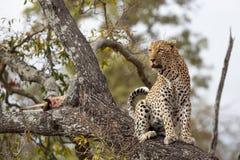 Μια αρσενική λεοπάρδαλη κάθεται κοντά στη θανάτωσή του σε ένα δέντρο στοκ φωτογραφίες με δικαίωμα ελεύθερης χρήσης