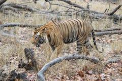 Μια αρσενική τίγρη ένα καυτό καλοκαίρι στοκ εικόνες