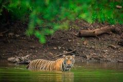 Μια αρσενική τίγρη που κολυμπά σε ένα νερό λιμνών στοκ φωτογραφία