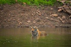 Μια αρσενική τίγρη που κολυμπά σε ένα νερό λιμνών στοκ εικόνες με δικαίωμα ελεύθερης χρήσης