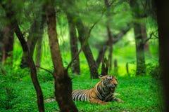 Μια αρσενική cub τιγρών χαλάρωση στη φύση όταν μετέτρεψε το δάσος σε έναν πράσινο τάπητα στην επιφύλαξη τιγρών ranthambore, Ινδία στοκ εικόνες