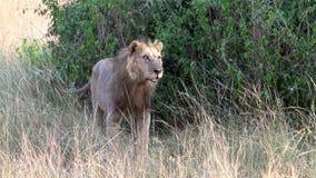Μια αρσενική maned στάση λιονταριών απόθεμα βίντεο