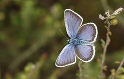 Μια ασημένιος-στερεωμένη αρσενικό μπλε πεταλούδα Plebejus Argus ζάλης που σκαρφαλώνει στην ερείκη με τα φτερά του ανοικτά Στοκ φωτογραφία με δικαίωμα ελεύθερης χρήσης