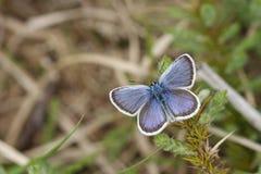 Μια ασημένιος-στερεωμένη αρσενικό μπλε πεταλούδα Plebejus Argus ζάλης που σκαρφαλώνει σε Gorse με τα φτερά του ανοικτά Στοκ Φωτογραφία