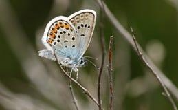 Μια ασημένιος-στερεωμένη αρσενικό μπλε πεταλούδα Plebejus Argus ζάλης που σκαρφαλώνει στην ερείκη Στοκ φωτογραφία με δικαίωμα ελεύθερης χρήσης