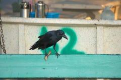 Μια αστεία, όμως ενοχλητική περιοχή ενός κανιβαλιστικού μαύρου κόρακα που κοιτάζει κάτω, τρώγοντας το τηγανισμένο κοτόπουλο σε έν στοκ εικόνα με δικαίωμα ελεύθερης χρήσης