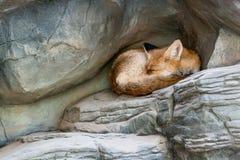 Μια αλεπού που ύπνοι Στοκ φωτογραφία με δικαίωμα ελεύθερης χρήσης