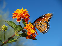 Μια βασίλισσα Butterfly σε ένα Lantana Μπους Στοκ Εικόνες