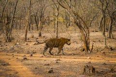 Μια βασιλική αρσενική τίγρη της Βεγγάλης στον περίπατο για τη μυρωδιά που χαρακτηρίζει στο έδαφός του περιπλάνηση στη ζούγκλα που στοκ εικόνα με δικαίωμα ελεύθερης χρήσης