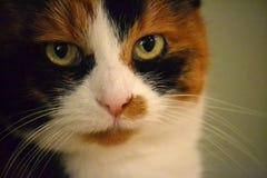 Μια γάτα βαμβακερού υφάσματος Στοκ Φωτογραφία
