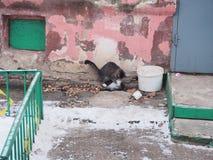 Μια γάτα επίασε ένα περιστέρι και προσπαθεί να το σκοτώσει και να φάει κυνήγι στοκ εικόνες