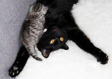 Μια γάτα θηλάζει ένα γατάκι θηλασμός Στοκ Εικόνα