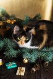 Μια γάτα κάθεται σε έναν ξύλινο πίνακα κοντά στους κλάδους Χριστουγέννων Στοκ Εικόνες