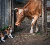 Μια γάτα και μια αγελάδα Μια συνεδρίαση Στοκ φωτογραφίες με δικαίωμα ελεύθερης χρήσης