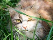 Μια γάτα κρύβει στη χλόη μια ηλιόλουστη ημέρα και εξετάζει το φακό καμερών στοκ φωτογραφία