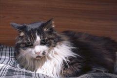 Μια γάτα που κοιτάζει επίμονα σε σας Στοκ Φωτογραφίες
