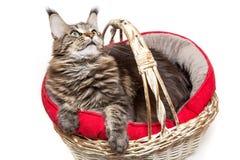 , μια γάτα σε ένα καλάθι Στοκ εικόνες με δικαίωμα ελεύθερης χρήσης