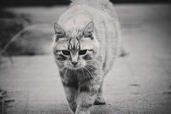 Μια γάτα στο black&white στοκ φωτογραφίες