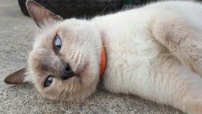 Μια γάτα Siames Στοκ εικόνα με δικαίωμα ελεύθερης χρήσης