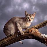 γάτα singapura Στοκ Φωτογραφίες