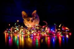 Μια γάτα sphynx στοκ εικόνες