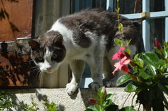 Μια γαλλική γάτα Στοκ φωτογραφία με δικαίωμα ελεύθερης χρήσης
