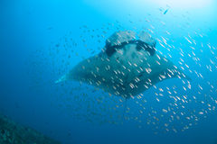 Μια γιγαντιαία ωκεάνια ακτίνα manta που περιβάλλεται από τα ψάρια Στοκ εικόνες με δικαίωμα ελεύθερης χρήσης