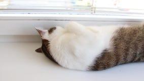 Μια γκρίζα άσπρη γάτα με τα μεγάλα πράσινα μάτια βρίσκεται σε ένα άσπρο windowsill απόθεμα βίντεο