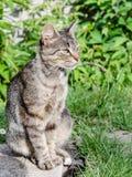 Μια γκρίζα γάτα με την όμορφη τρίχα και τα ευφυή μάτια Στοκ Εικόνες