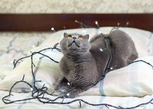 Μια γκρίζα γάτα που βάζει στο κρεβάτι Στοκ εικόνες με δικαίωμα ελεύθερης χρήσης