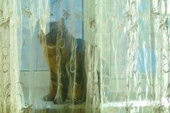 Μια γκρίζα, τιγρέ γάτα κάθεται σε μια στρωματοειδή φλέβα παραθύρων που κρύβεται από μια κουρτίνα στοκ φωτογραφίες