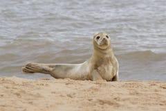 Μια γκρίζα χαλάρωση σφραγίδων στην παραλία Στοκ Εικόνες