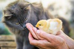 Μια γκρίζα, χνουδωτή γάτα εξετάζει λίγο ανυπεράσπιστο νεοσσό στο χ της στοκ φωτογραφία με δικαίωμα ελεύθερης χρήσης