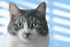 Μια γκριζόλευκη γάτα με τα μεγάλα μάτια ενός ανοικτό πράσινο χρώματος εξετάζει τη κάμερα Πορτρέτο μιας κινηματογράφησης σε πρώτο  στοκ φωτογραφίες με δικαίωμα ελεύθερης χρήσης