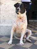 Μια γραπτή συνεδρίαση σκυλιών στο πάτωμα όπως το βασιλιά στοκ φωτογραφία με δικαίωμα ελεύθερης χρήσης