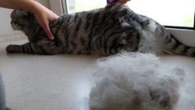 Μια γυναίκα γρατσουνίζει το κατοικίδιο ζώο της με μια βούρτσα μιας σκωτσέζικης διπλωμένης γάτας απόθεμα βίντεο