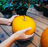 Μια γυναίκα επιλέγει μια κολοκύθα στην αγορά Πορτοκαλιά κολοκύθα στα χέρια Στοκ φωτογραφίες με δικαίωμα ελεύθερης χρήσης