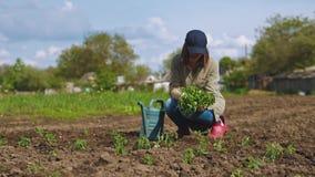 Μια γυναίκα επιλέγει τα σπορόφυτα ντοματών για τη φύτευση στο έδαφος απόθεμα βίντεο