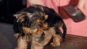 Μια γυναίκα κτενίζει ένα μικρό σκυλί απόθεμα βίντεο
