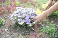 Μια γυναίκα συλλέγει τα άγριες λουλούδια, τις μαργαρίτες και τις παπαρούνες Στοκ φωτογραφία με δικαίωμα ελεύθερης χρήσης
