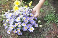 Μια γυναίκα συλλέγει τα άγριες λουλούδια, τις μαργαρίτες και τις παπαρούνες στοκ εικόνα με δικαίωμα ελεύθερης χρήσης