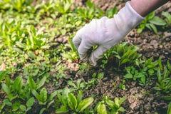 Μια γυναίκα την βοτανίζει παραδίδει τα γάντια εγκαταστάσεων στον κήπο στοκ φωτογραφία με δικαίωμα ελεύθερης χρήσης